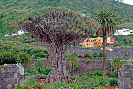 dragon tree tenerife