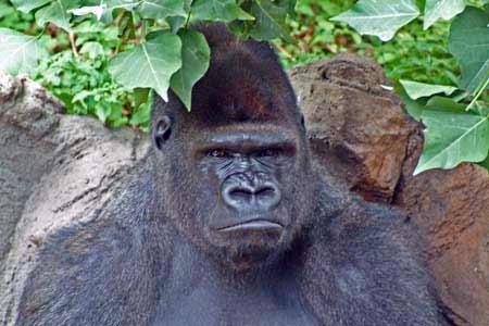 Gorilla Loroparque