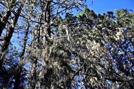 Musgo en los pinos