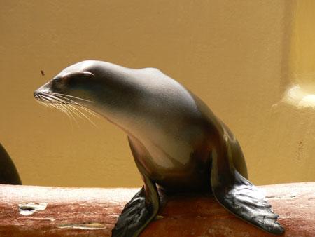 Sea Lion Tenerife