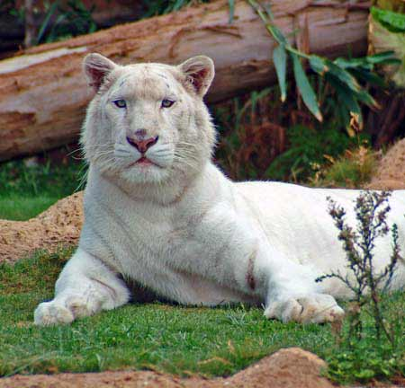 White tiger Loroparc